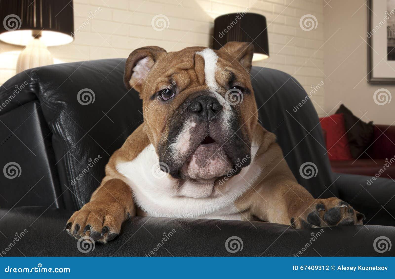 Englische Bulldogge Im Wohnzimmer
