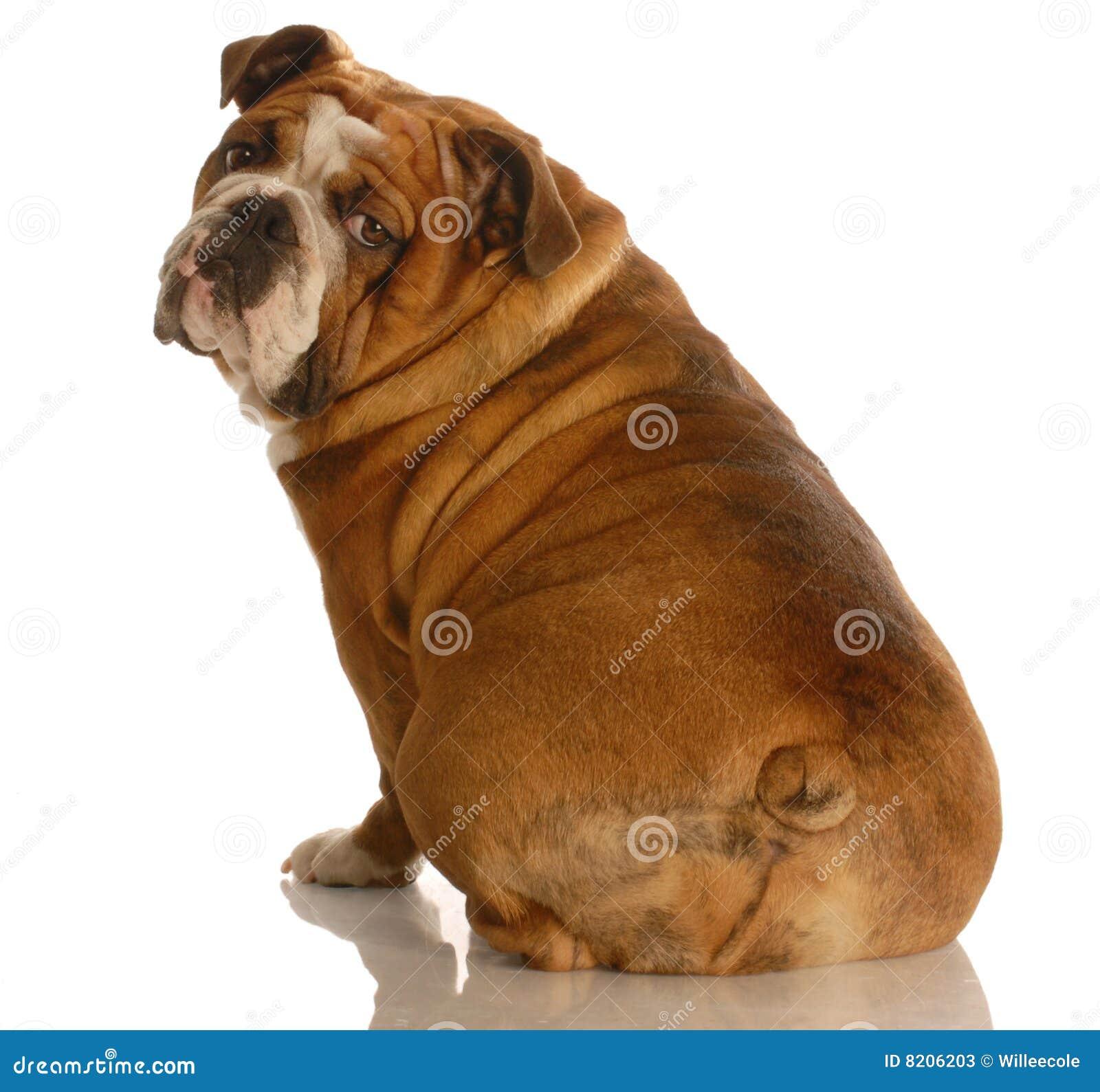 Englische Bulldogge von der Rückseite