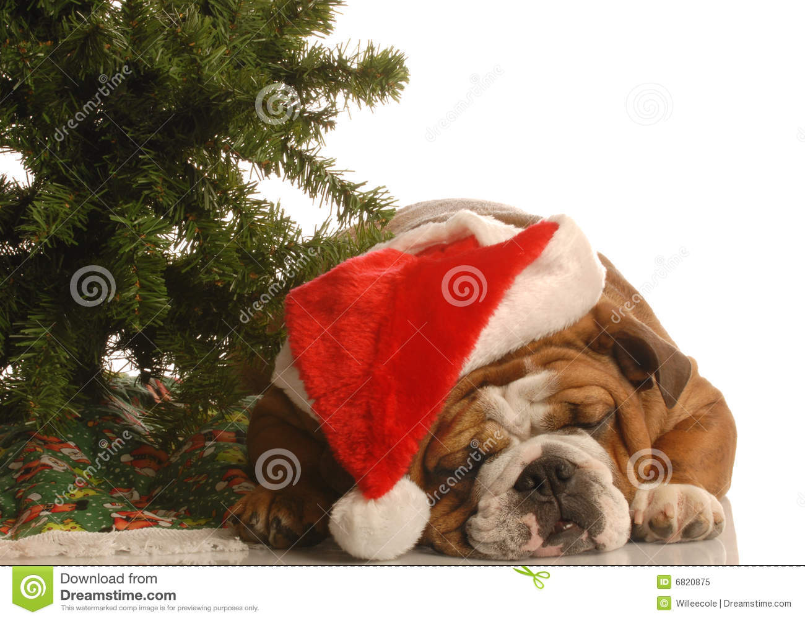 englische bulldogge am weihnachten lizenzfreies stockfoto. Black Bedroom Furniture Sets. Home Design Ideas