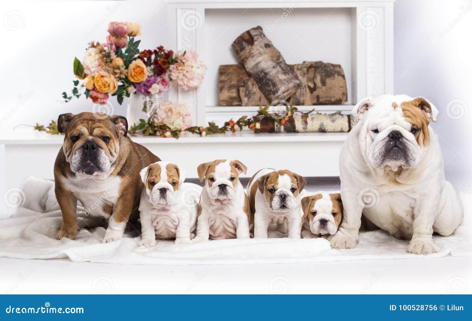 Englische Bulldoggensänfte von Welpen, von Mutter und von Vati