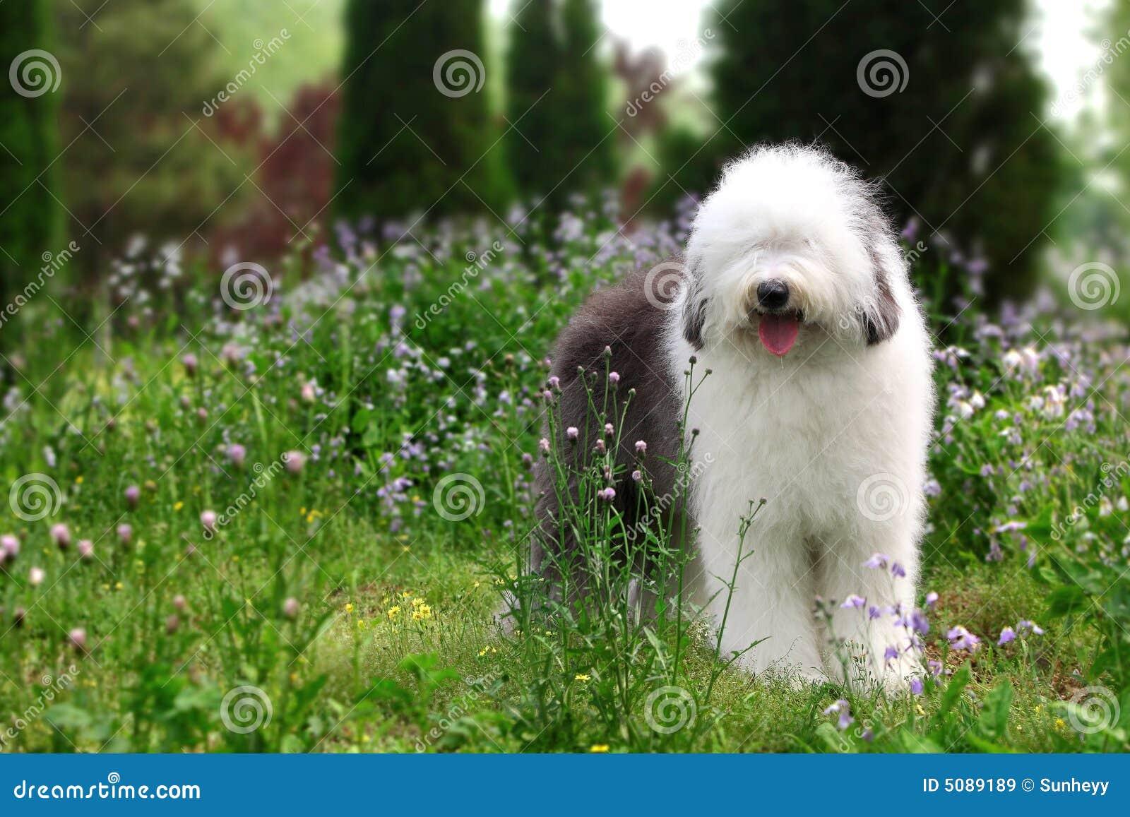 Download Englischer Alter Schäferhund Stockbild - Bild von kopf, haarig: 5089189
