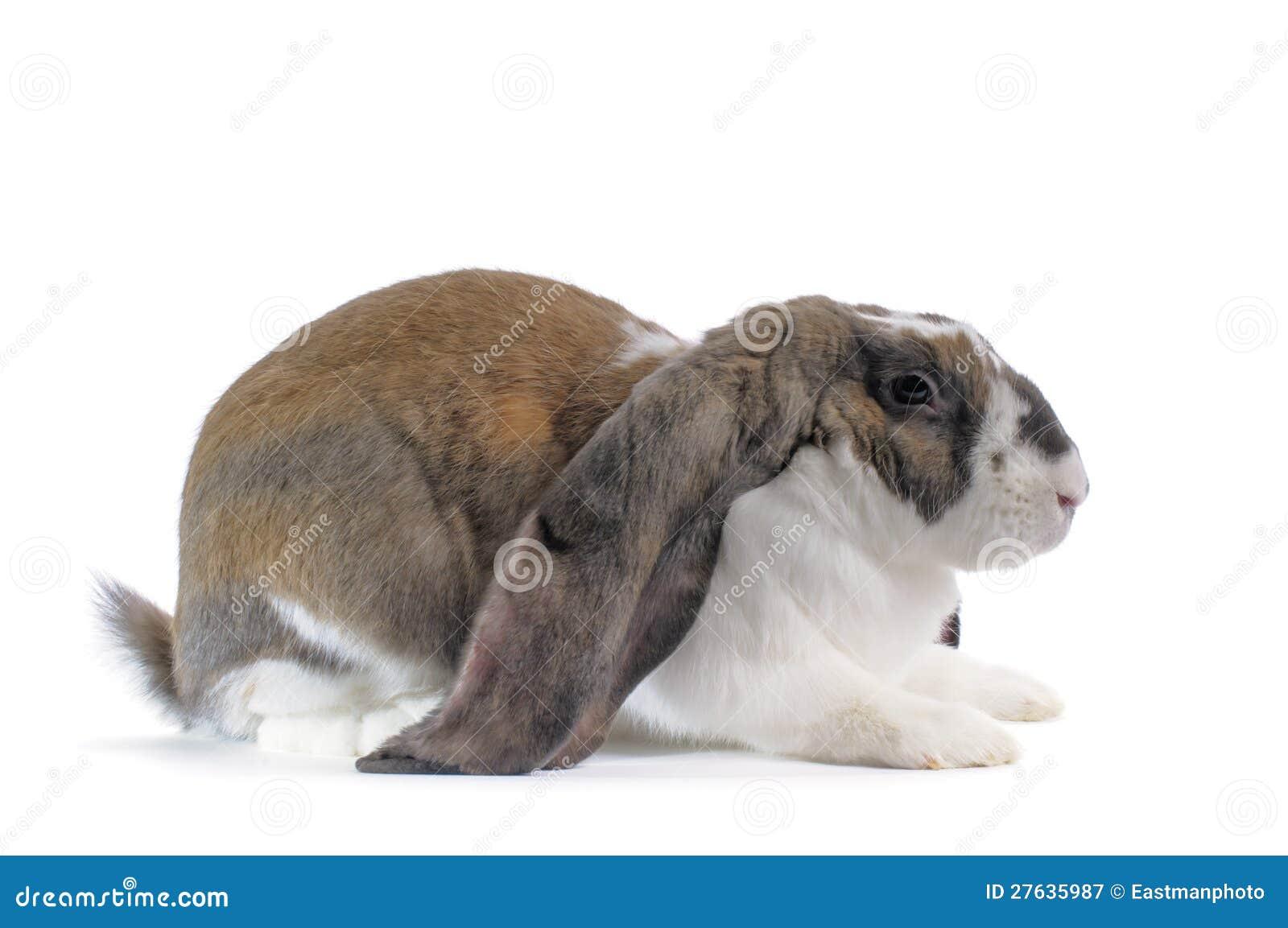 Englisches Schmierölniederdruck-Kaninchen