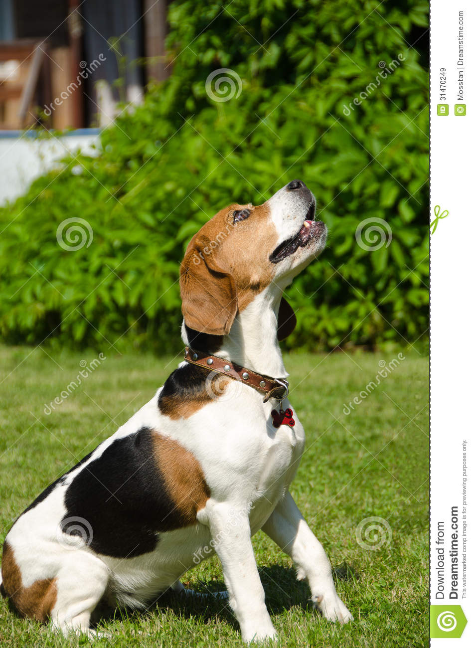 Outdoor Dog House Plans English Beagle - Breed...