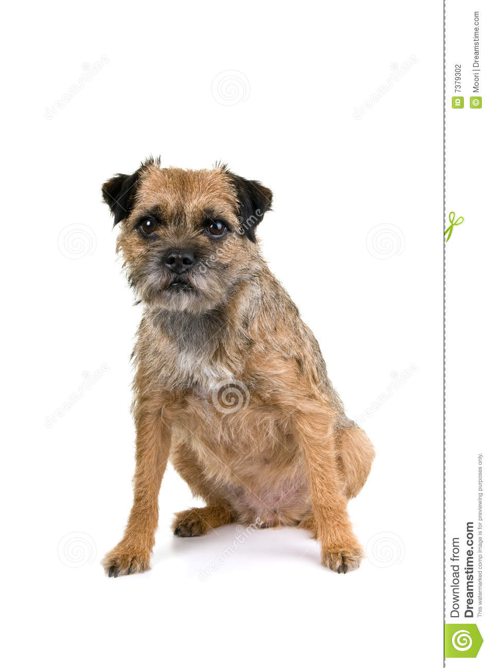 English border terrier stock photography image 7400962 for English terrier