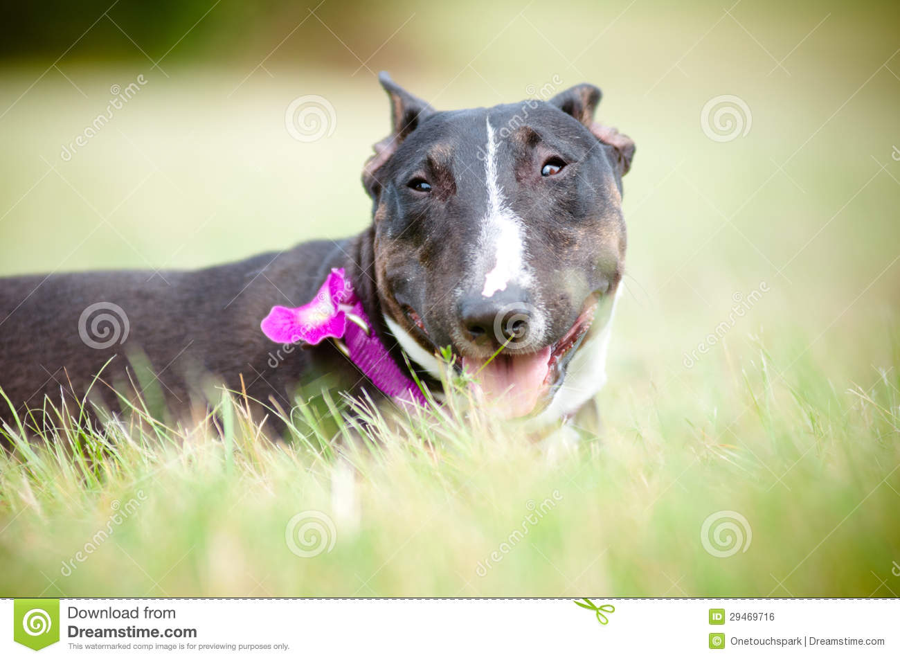 English bull terrier dog portrait royalty free stock for English terrier