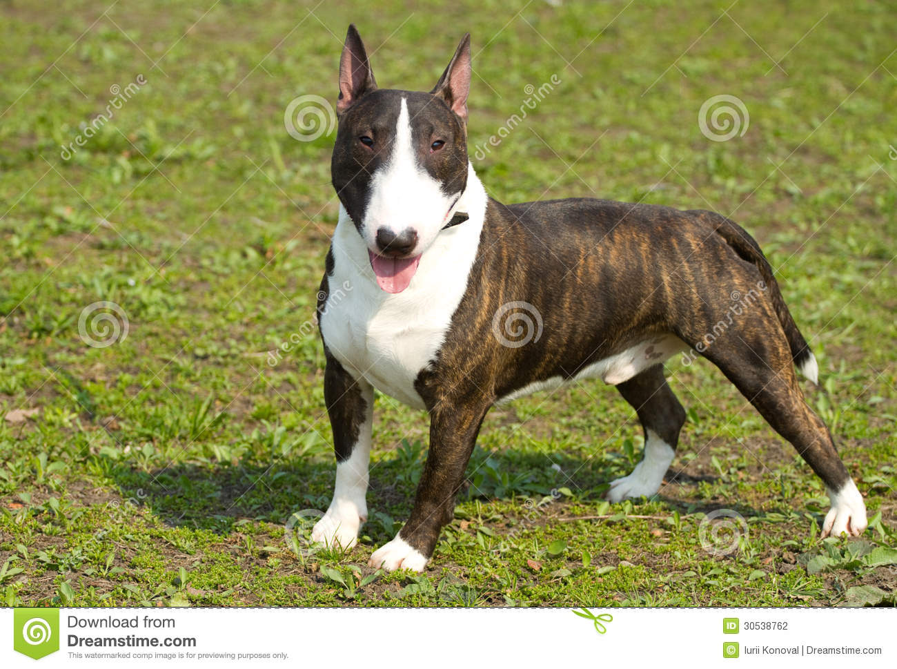 Bull terrier and french bulldog stock photo a white bull for English terrier