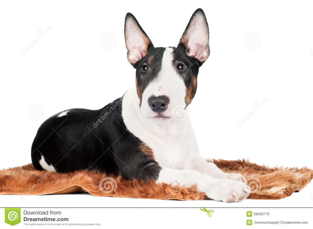 English Bull Terrier Puppy Lying Down Funny Stock Photo - Image ...