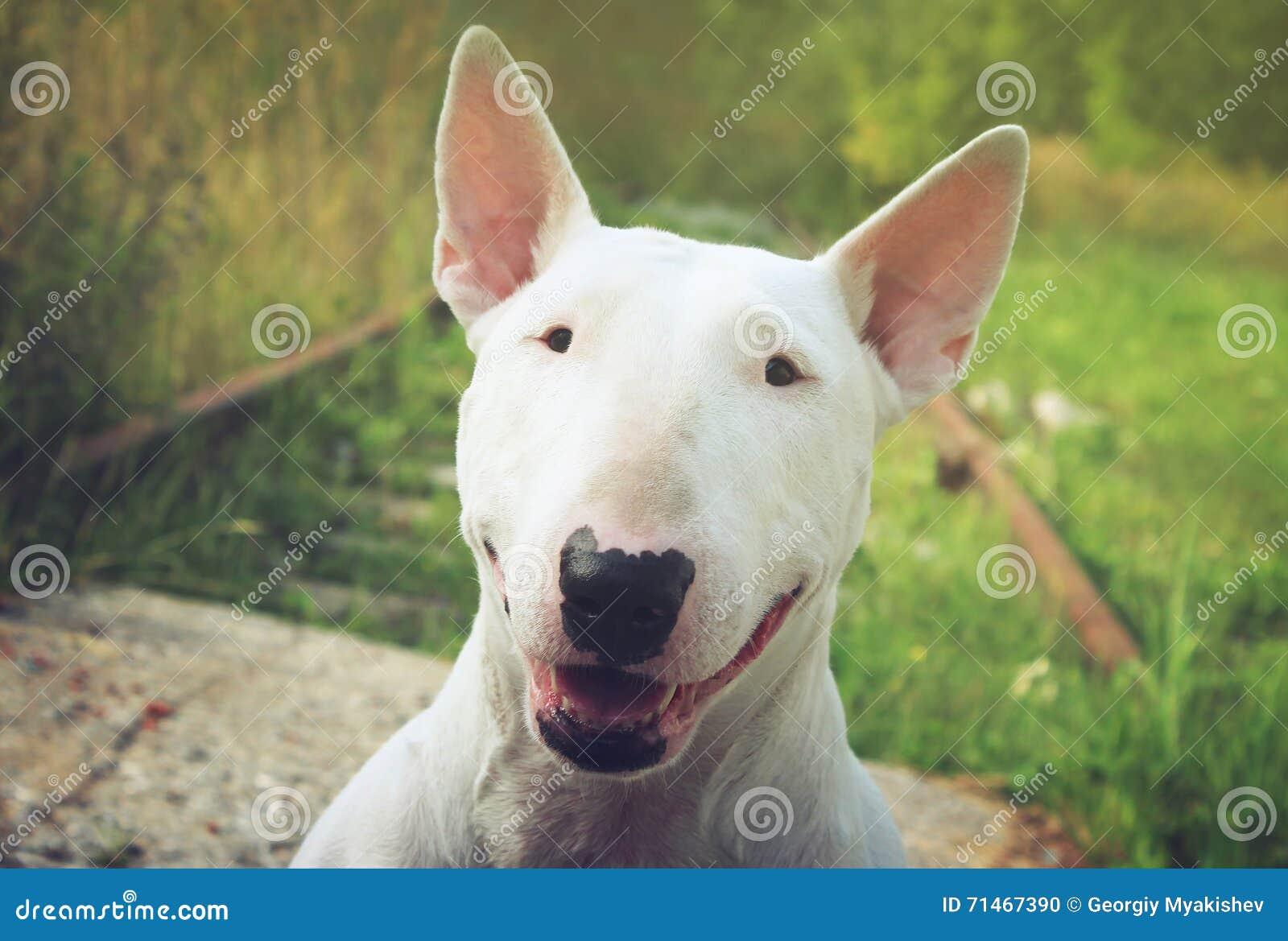 English bull Terrier walks outdoors