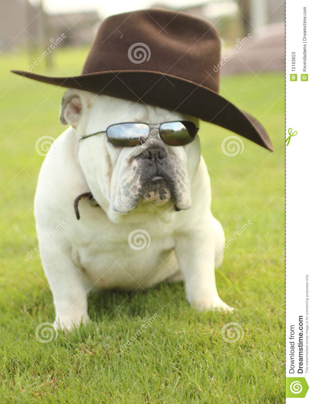 English Bulldog With Cowboy Hat Stock Image Image Of Animal Funny