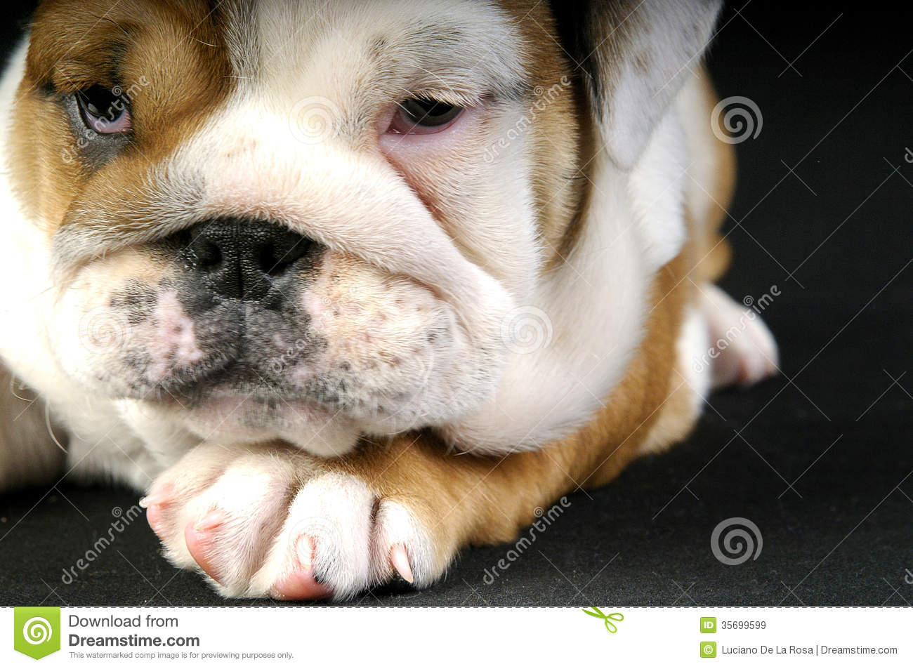 English Bulldog laying on a black carpet. She is looking to the