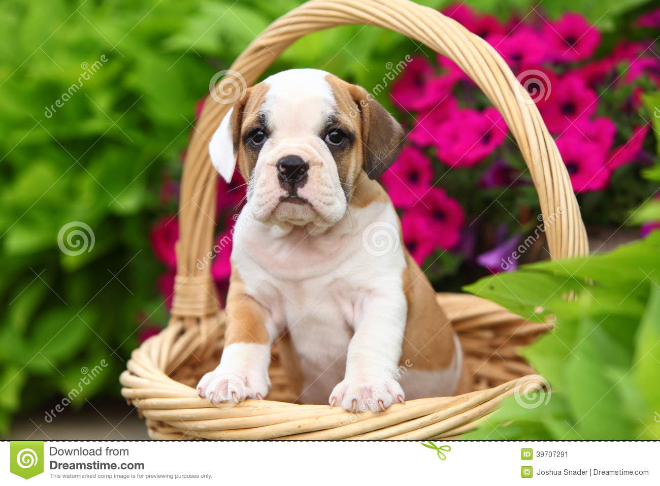 English Bulldog Beagle Mix A lovable beabull (english bulldog/beagle ...