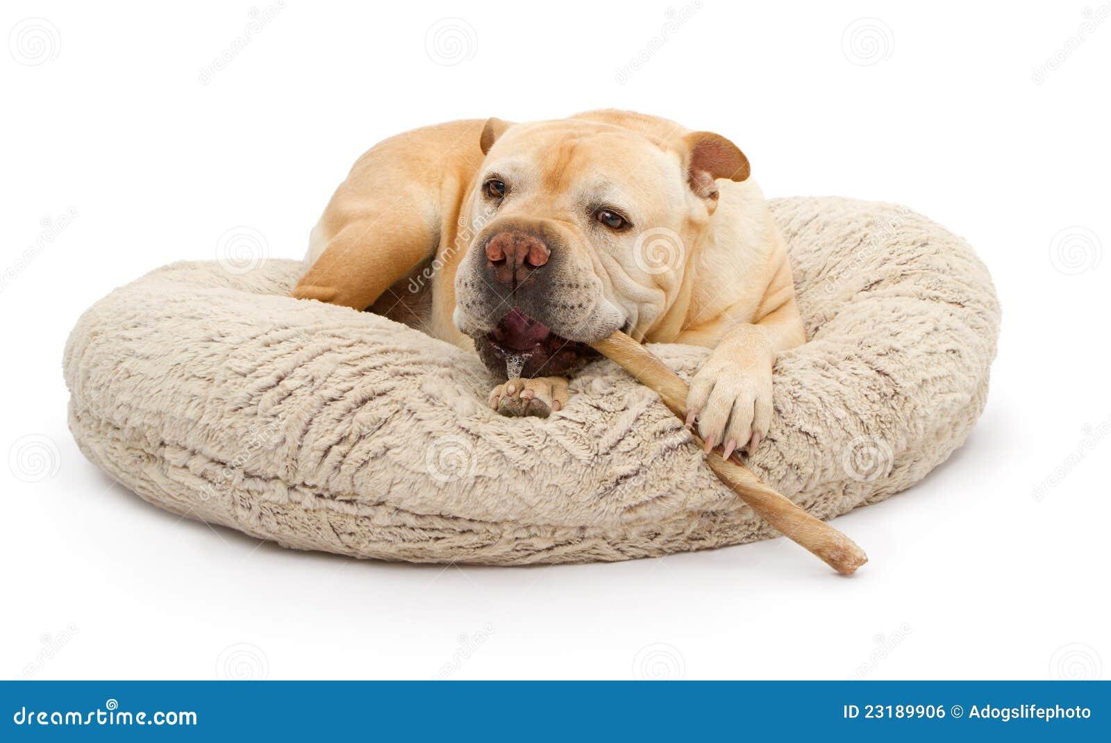 English Bulldog Mixed Breed Dog With Bully Stick Royalty