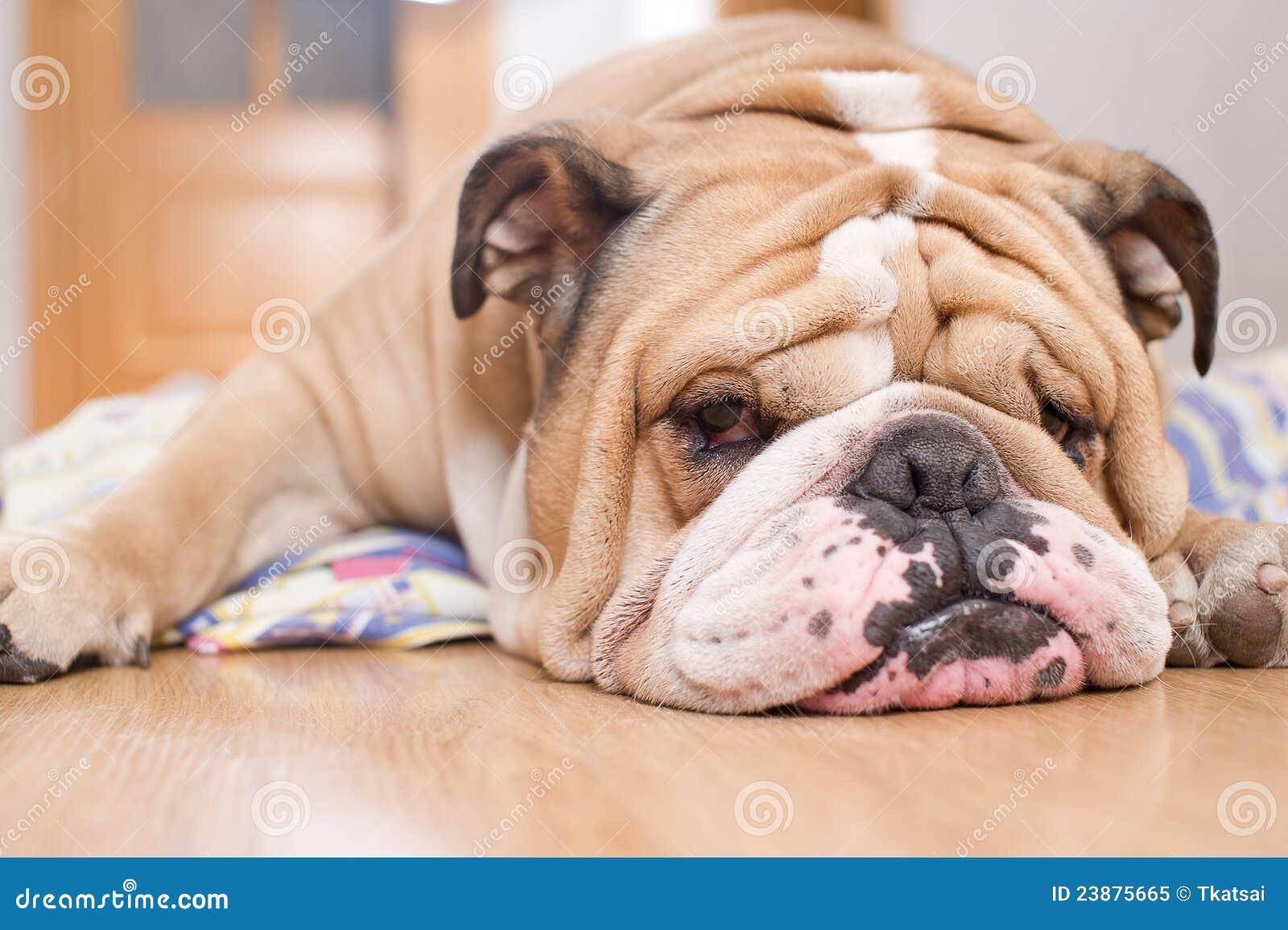 English Bulldog portrait