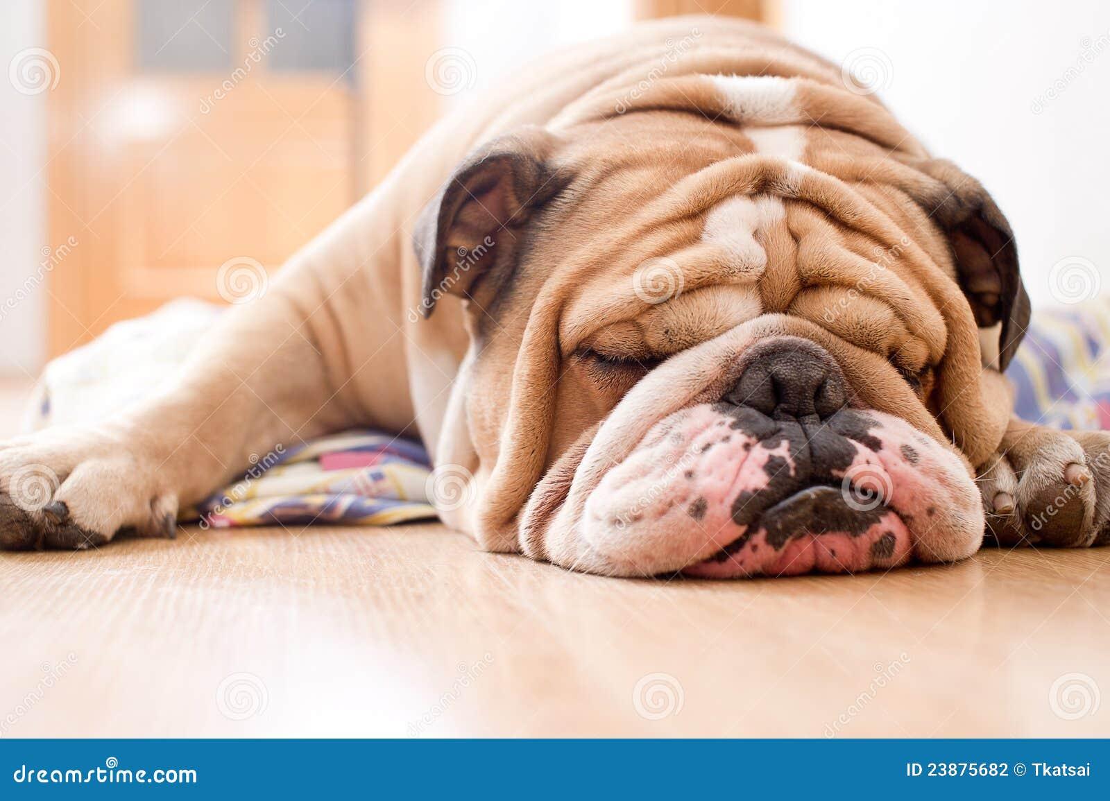 Download English Bulldog portrait stock photo. Image of pedigree - 23875682