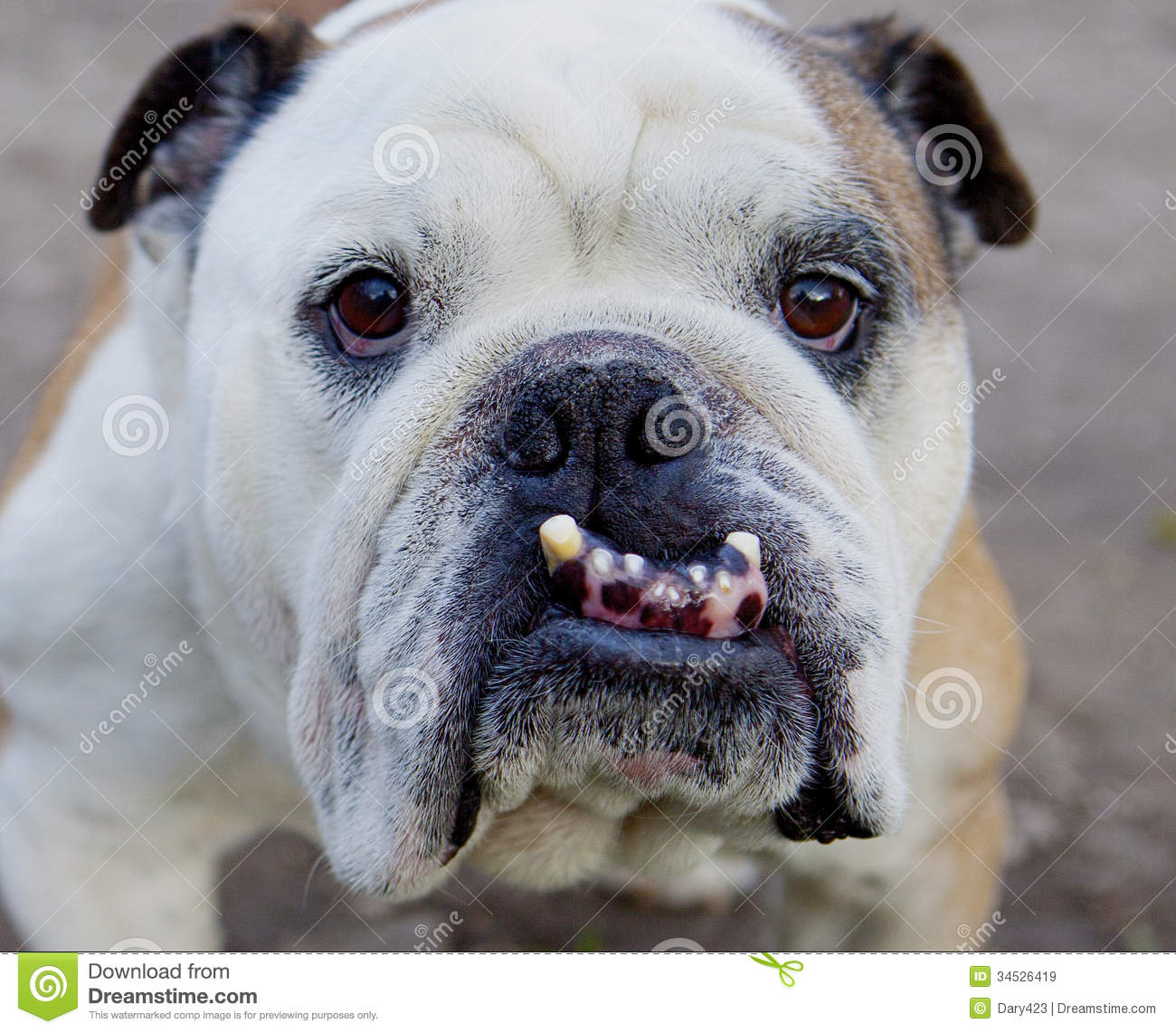 English Bulldog Royalty Free Stock Images - Image: 34526419