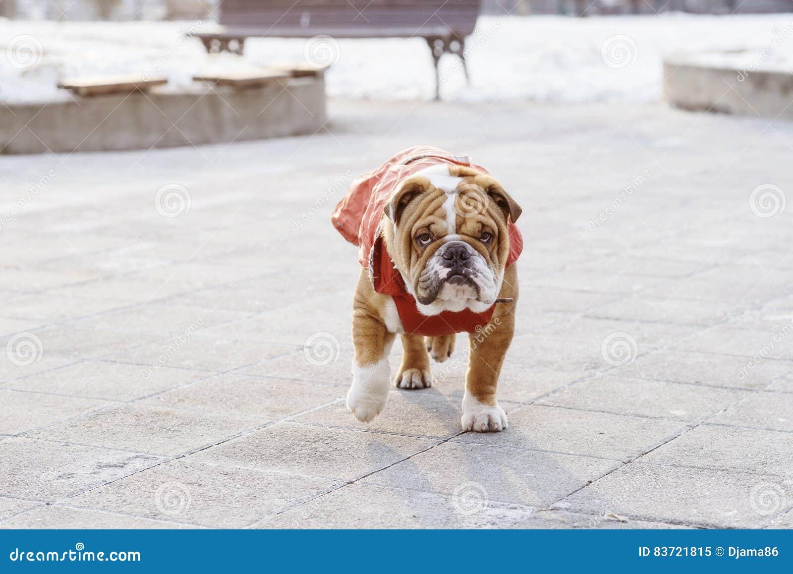 English Bulldog Pup In The Park Stock Photo