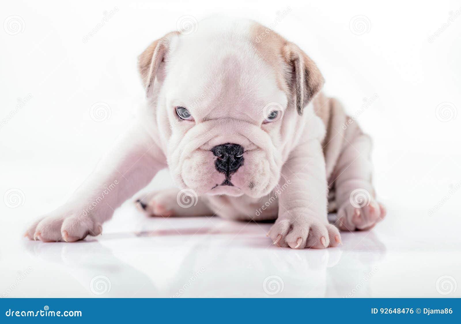 English bulldog pup posing stock photo. Image of wrinkles ...