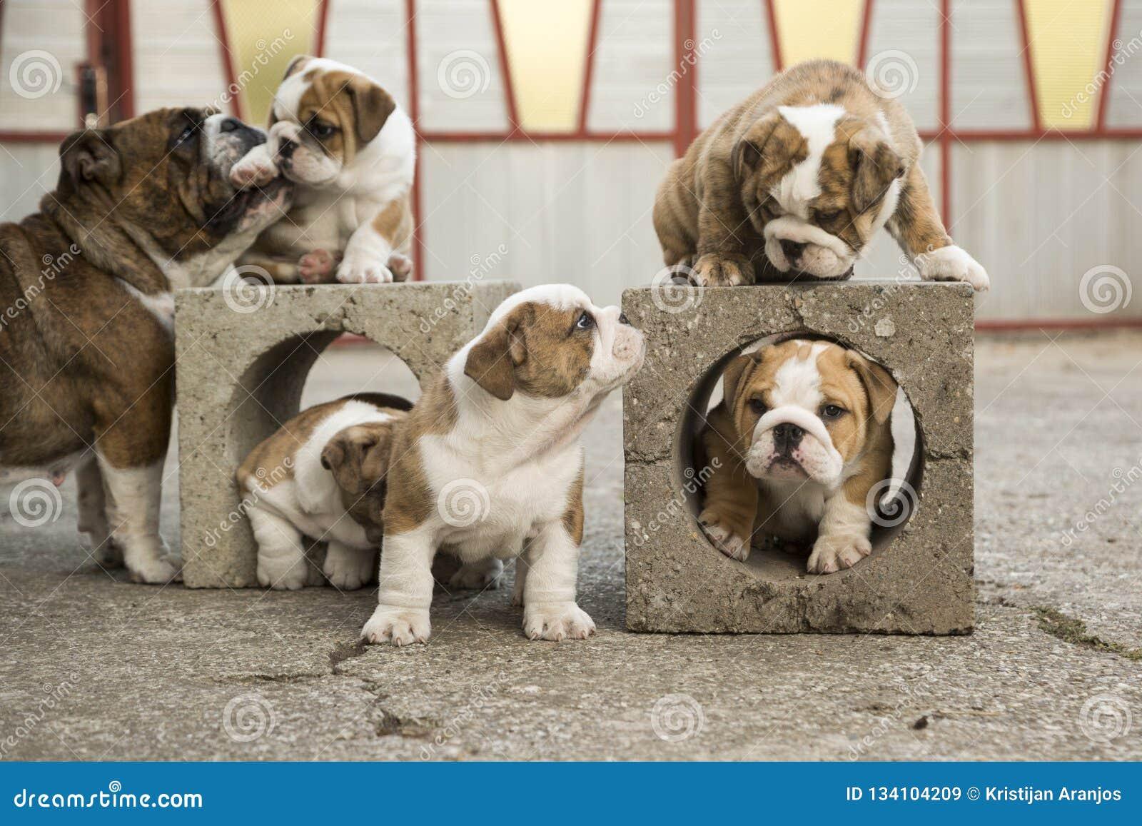 English Bulldog Puppies Backyard Playing Young Dogs Stock Image Image Of Backyard Doggy 134104209