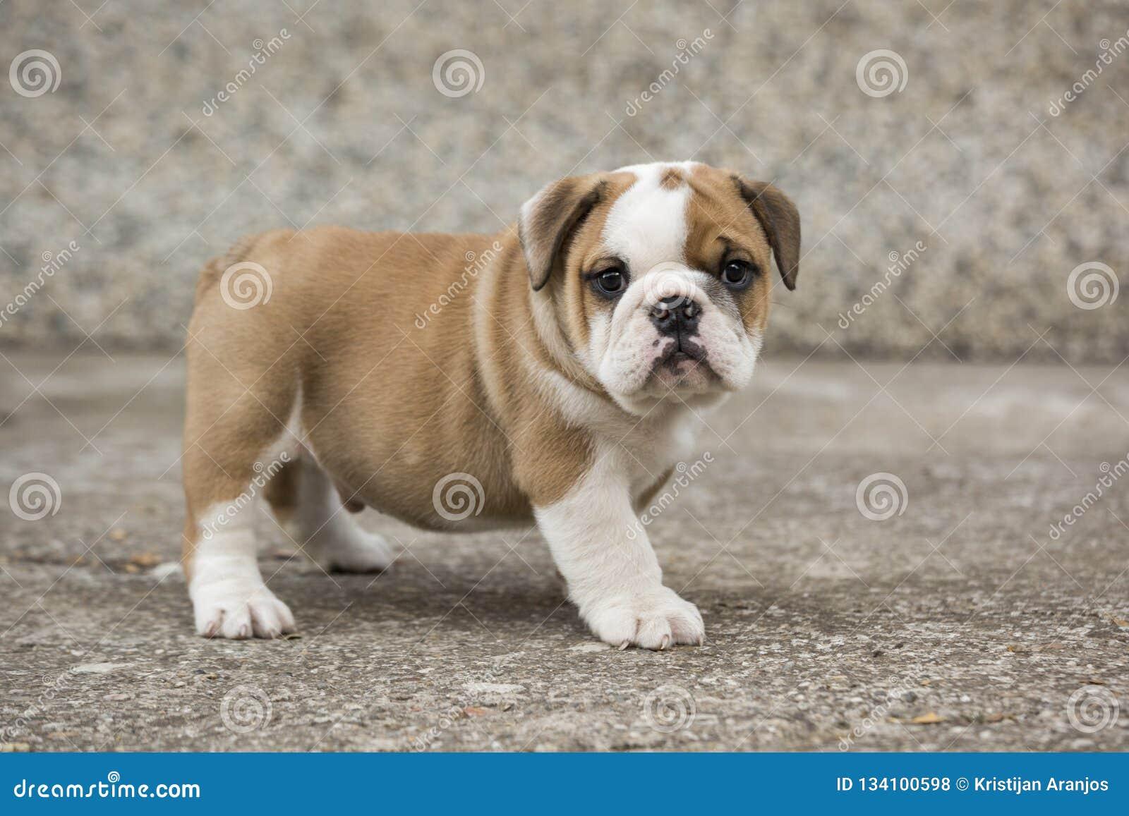 English Bulldog Puppies Backyard Playing Young Dogs Stock Photo Image Of Canine Doggy 134100598