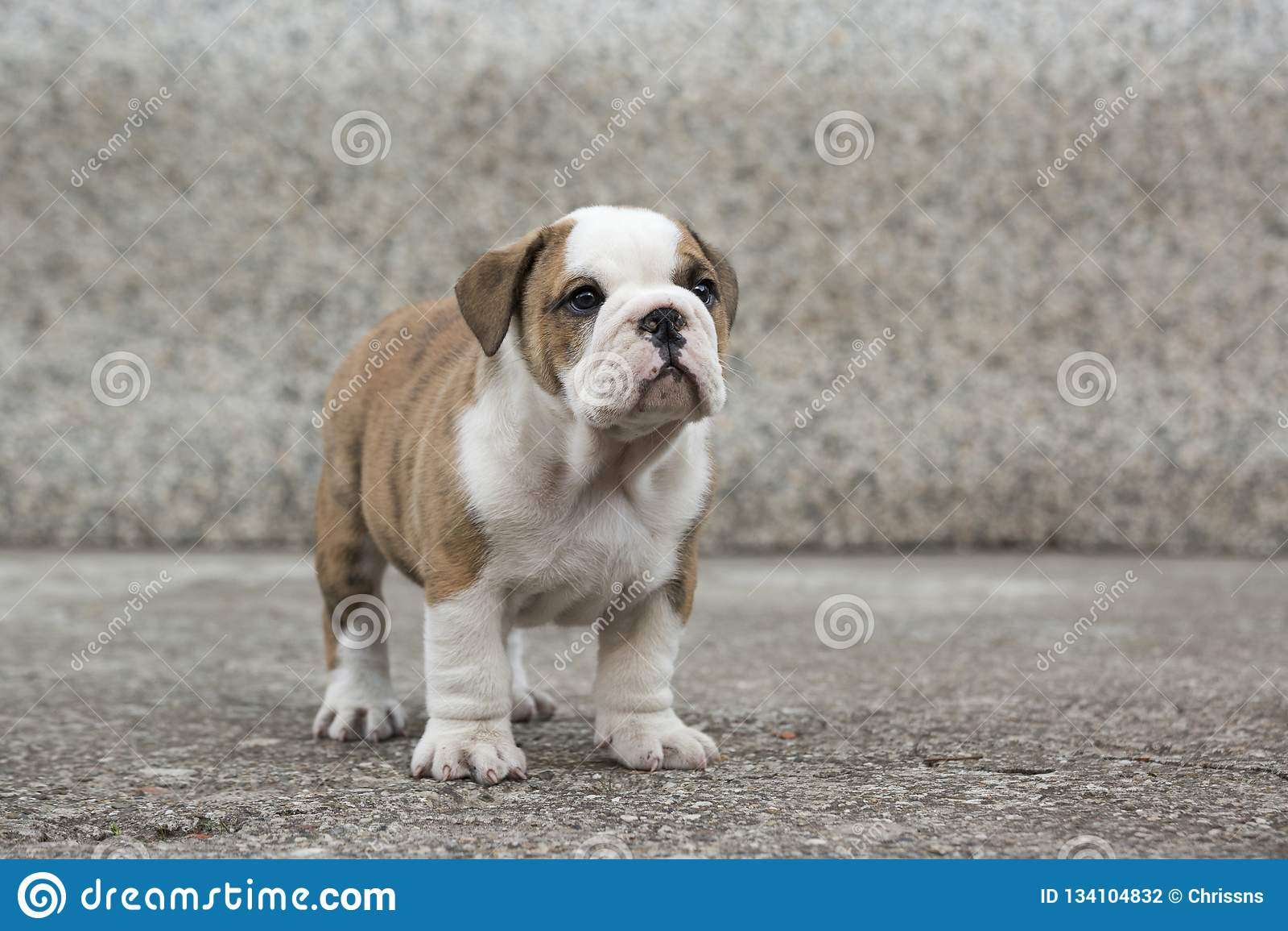 English Bulldog Puppies Backyard Playing Young Dogs Stock Photo Image Of Happy Background 134104832