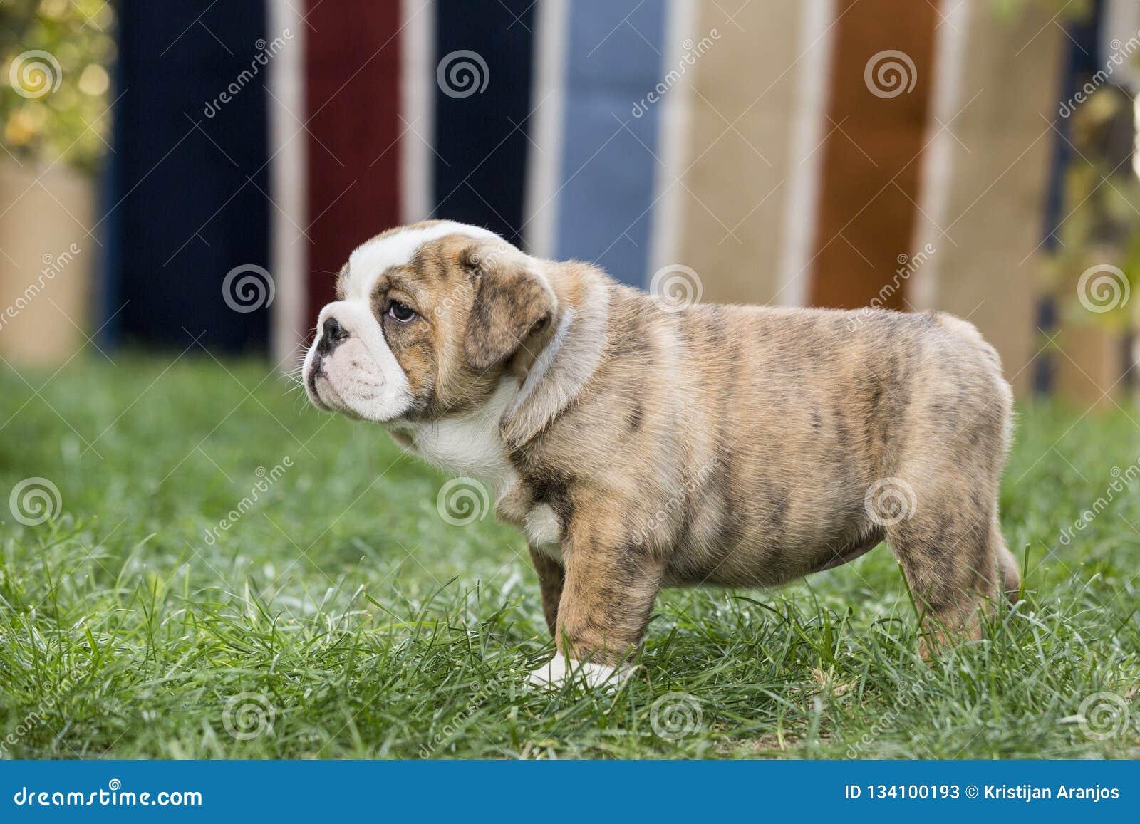 English Bulldog Puppies Backyard Playing Young Dogs Stock Image Image Of Funny Bulldog 134100193