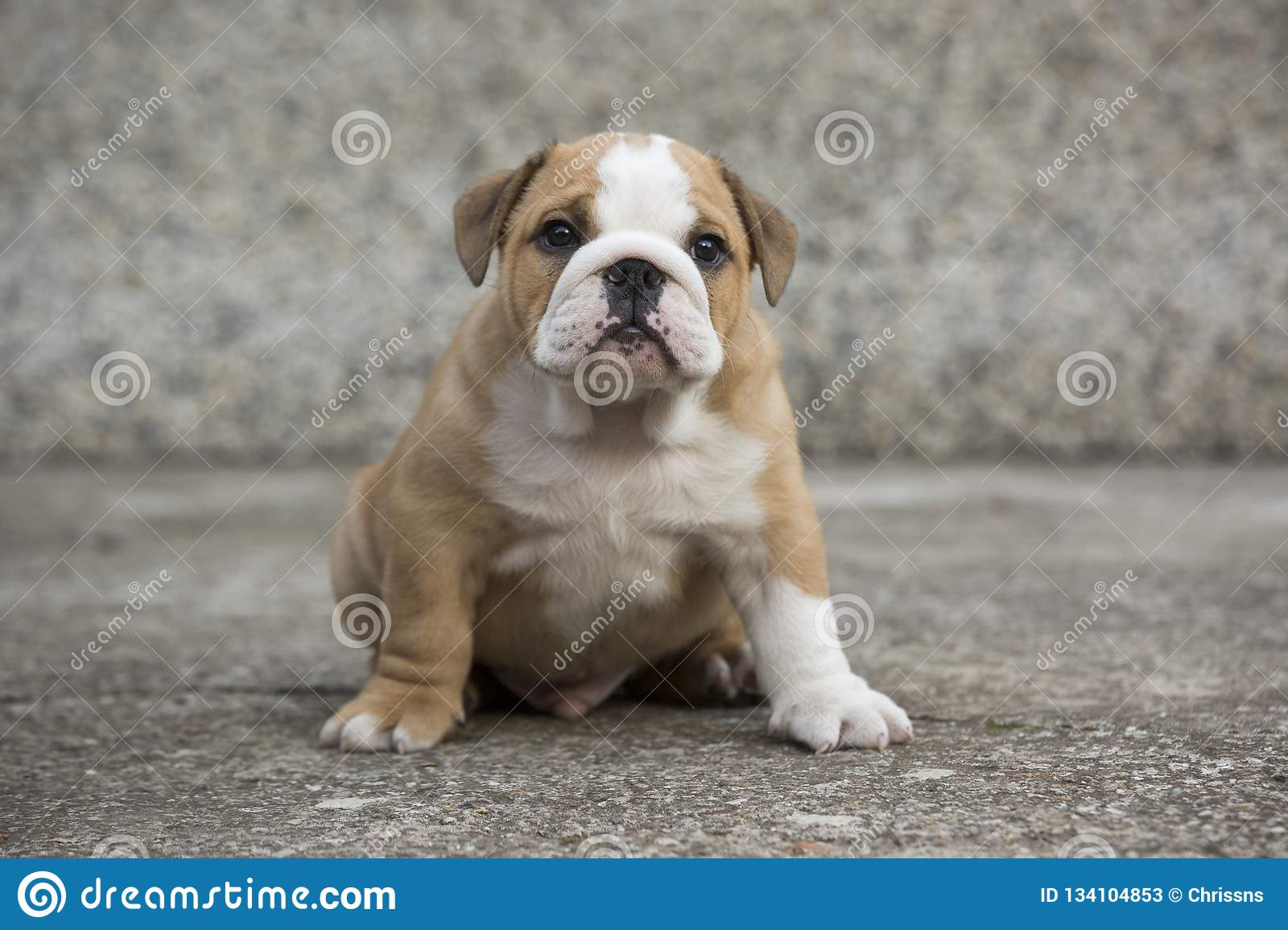 English Bulldog Puppies Backyard Playing Young Dogs Stock Image Image Of Baby Funny 134104853