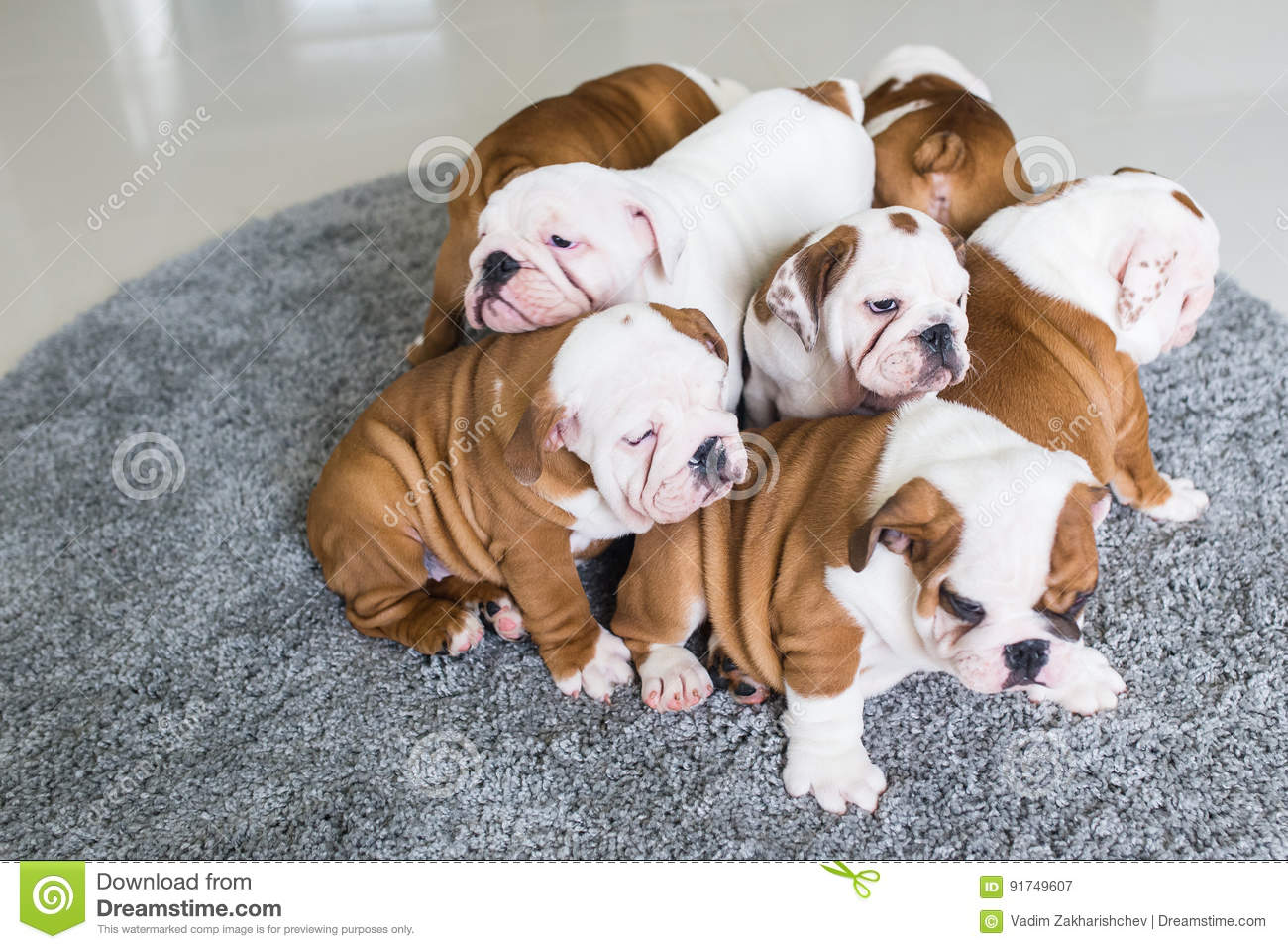 English Bulldog Puppies Lie Together On The Carpet Stock Image