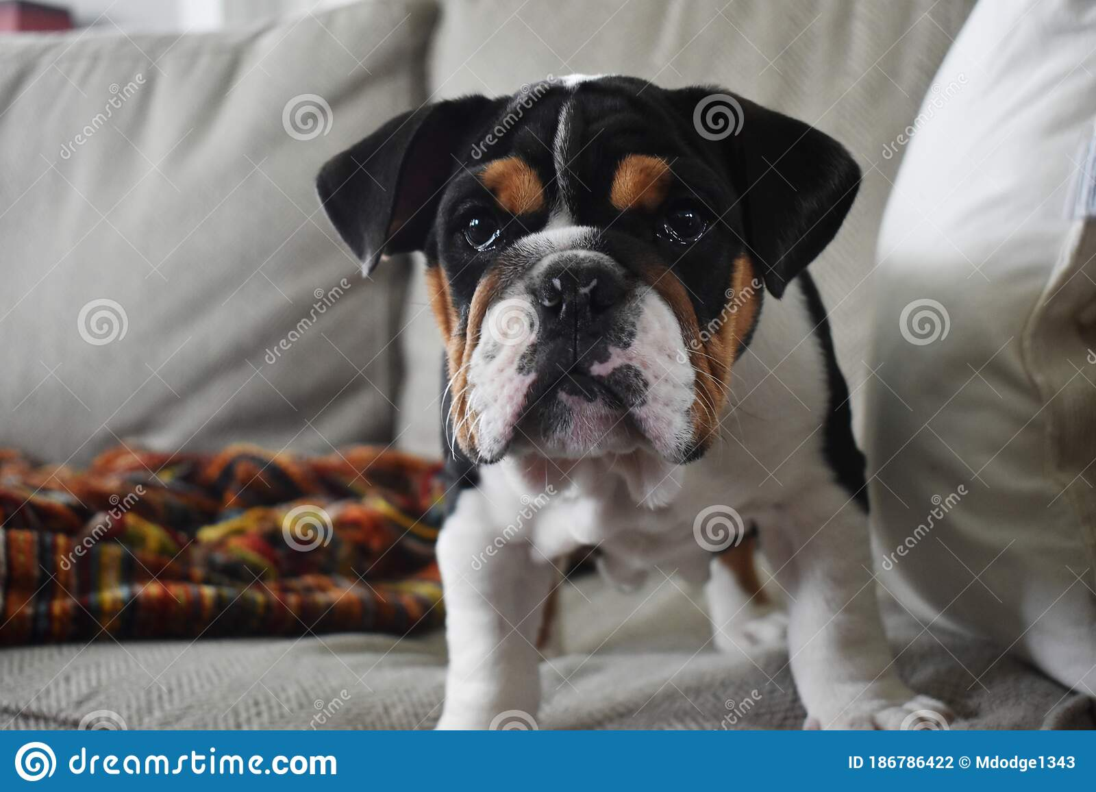 English Bulldog Puppy Stock Photo Image Of Babypuppy 186786422