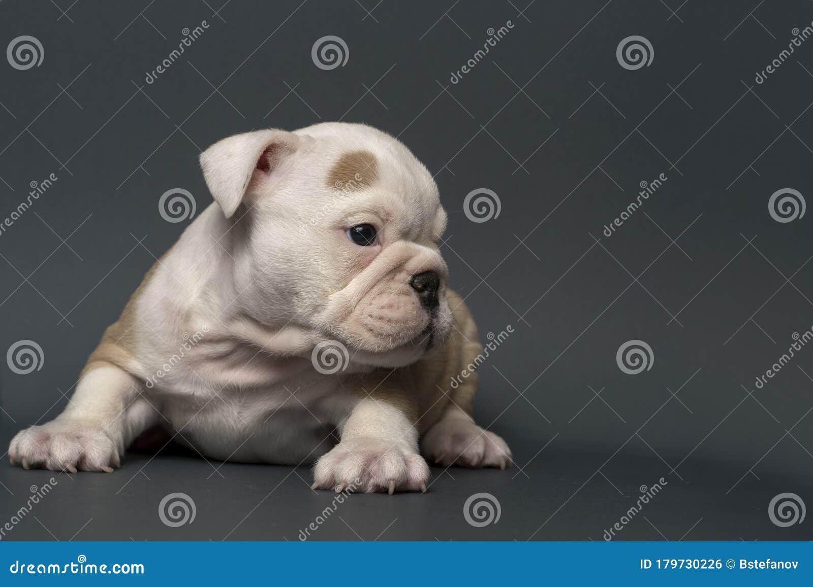 English Bulldog Puppy Stock Photo Image Of Puppy Looking 179730226