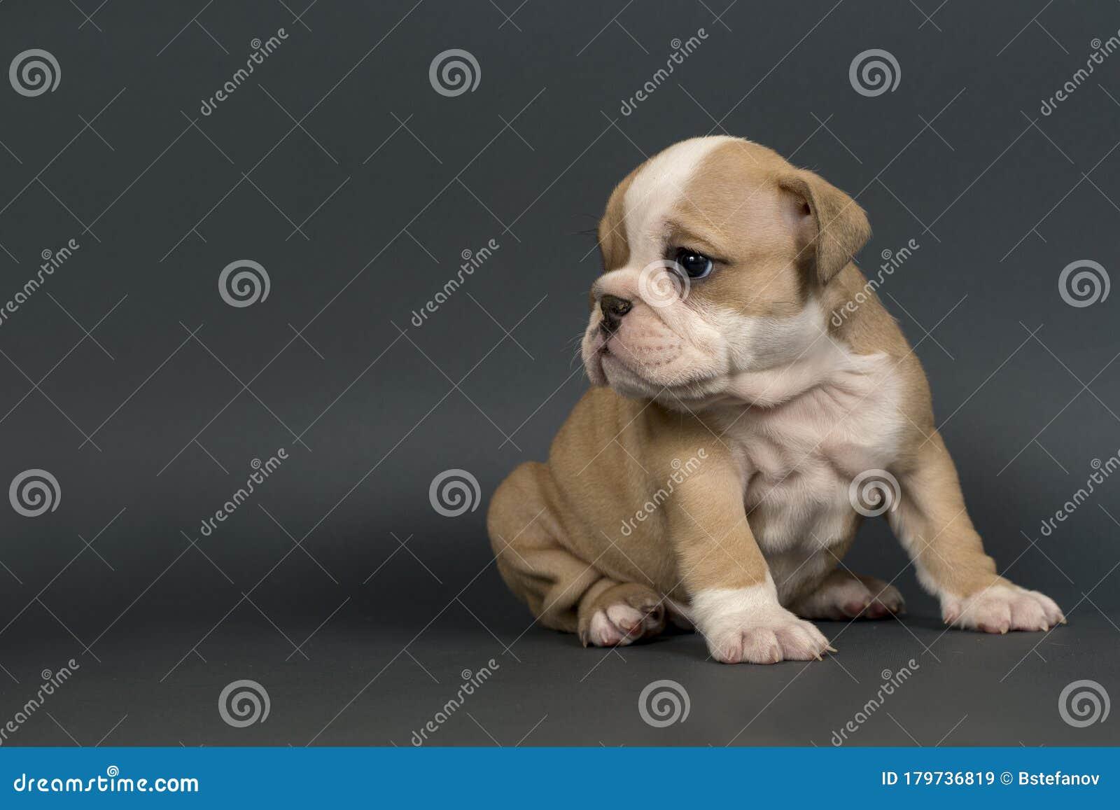 English Bulldog Puppy Stock Image Image Of Doggy British 179736819