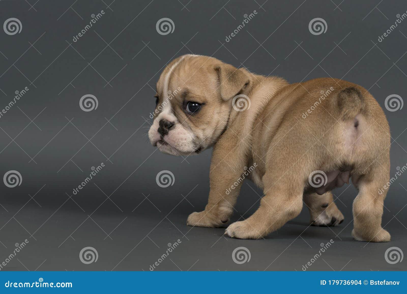 English Bulldog Puppy Stock Photo Image Of Bulldog 179736904