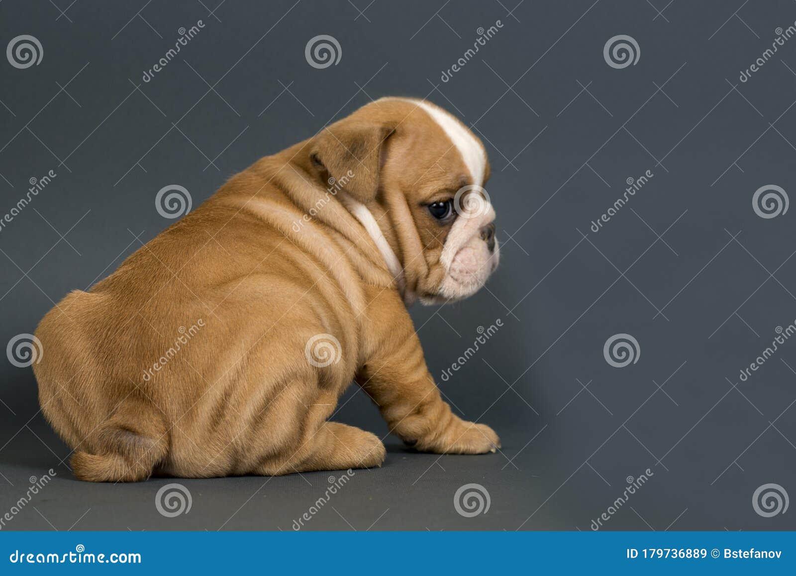 English Bulldog Puppy Stock Image Image Of Text British 179736889