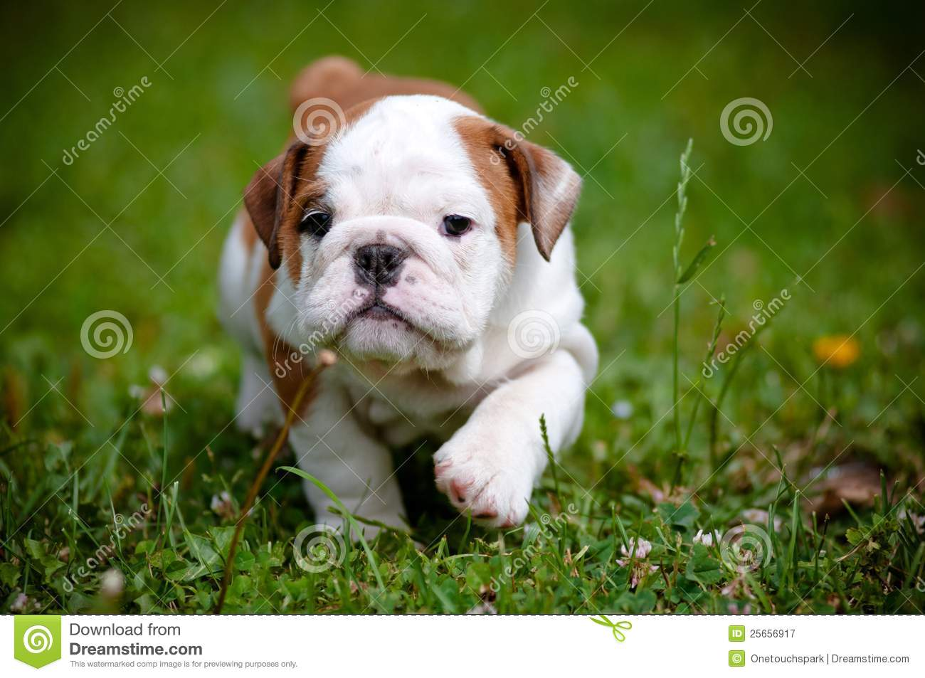 English Bulldog Puppy Outdoors Stock Image Image Of Family