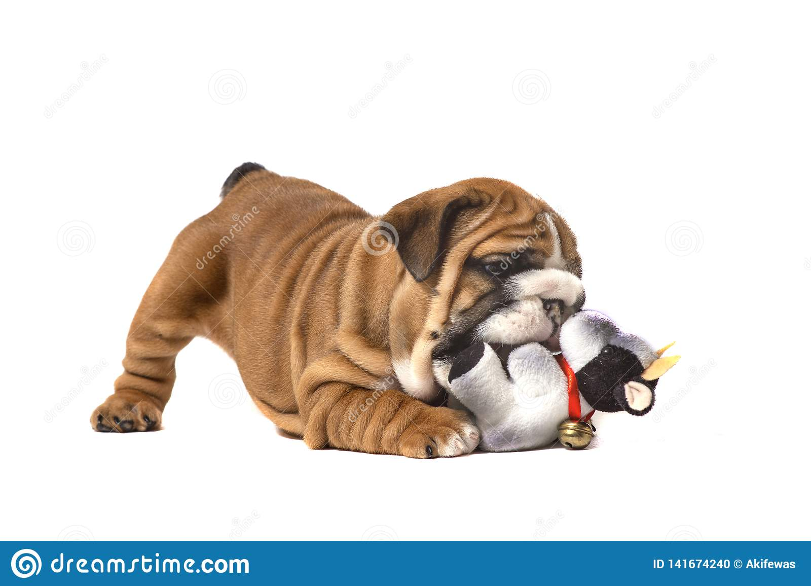 English bulldog puppy playing on white background
