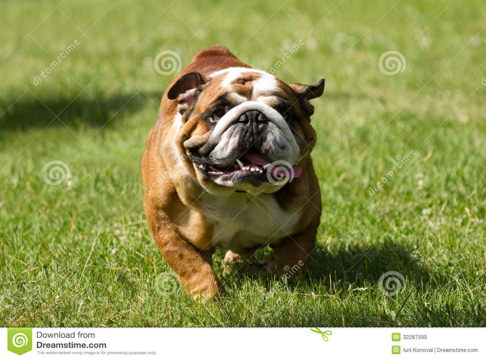 English Bulldog Running Royalty Free Stock Images - Image ...