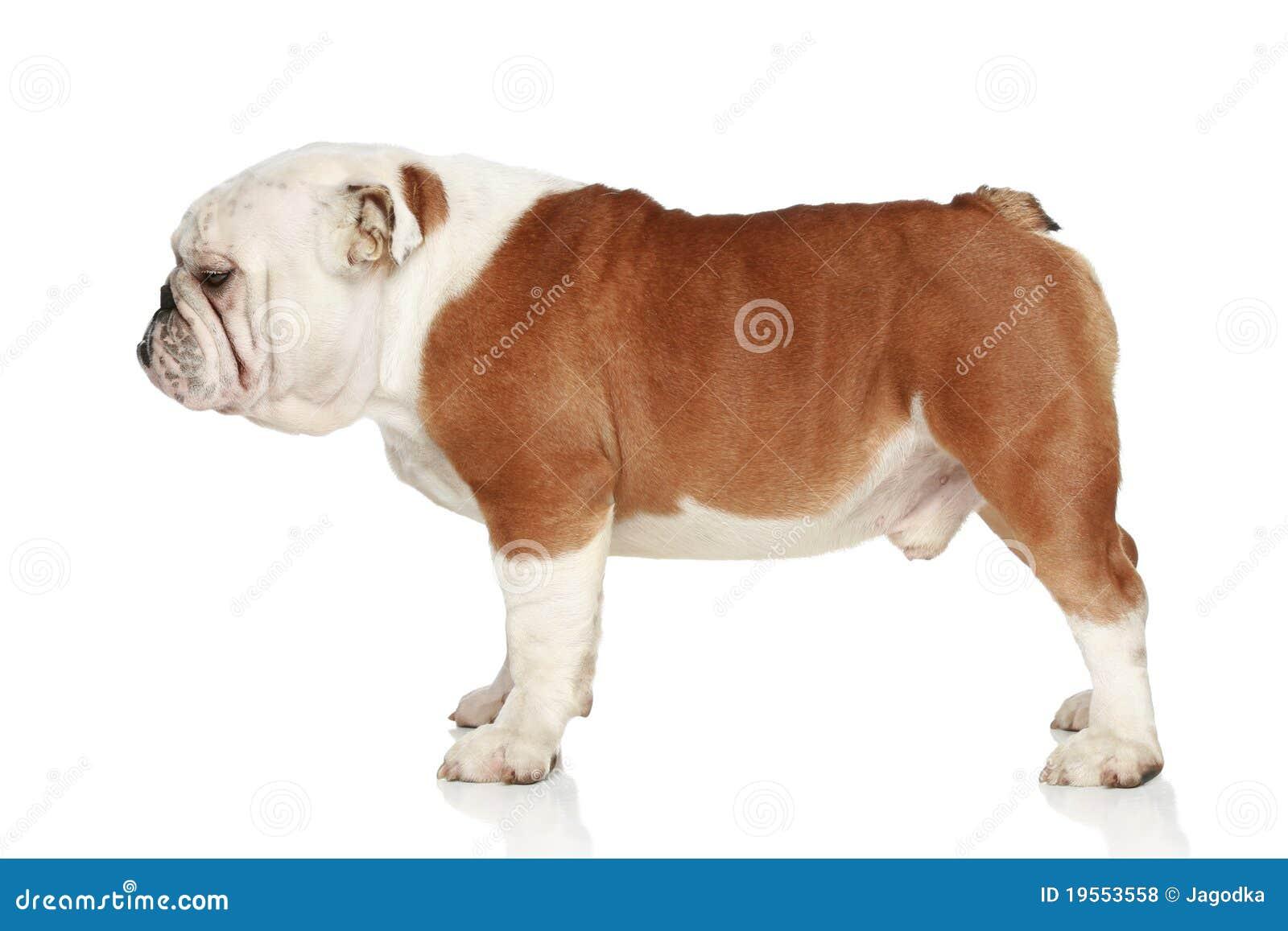 English Bulldog. Side View Royalty Free Stock Photos - Image: 19553558