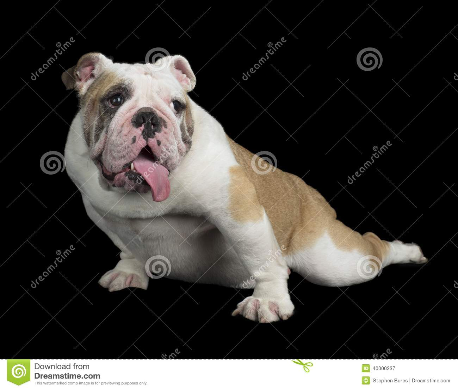 English Bulldog Stock Image Image Of Horizontal Alone 40000337