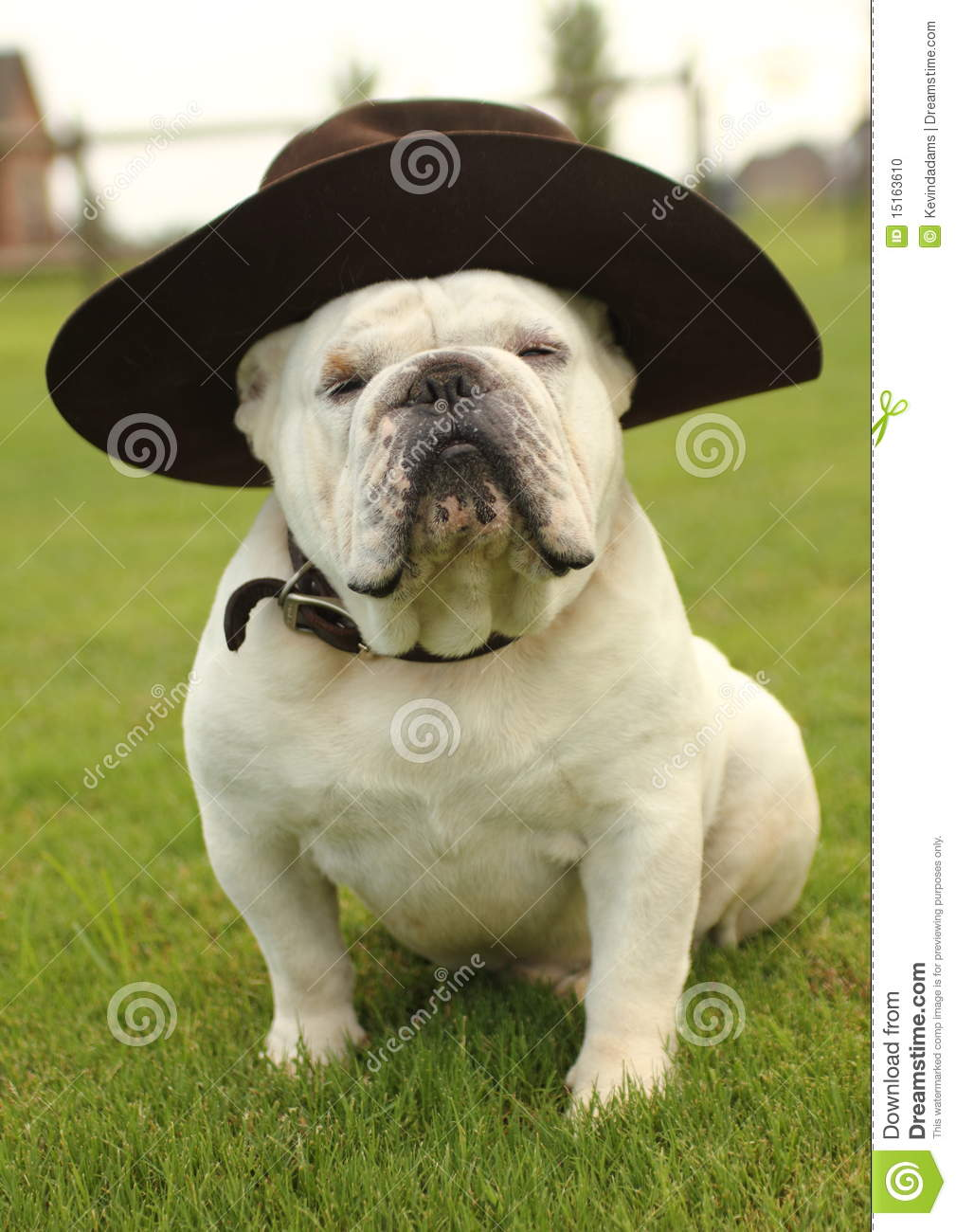 English Bulldog Wearing Hat Stock Photo Image Of Bulldog Funny