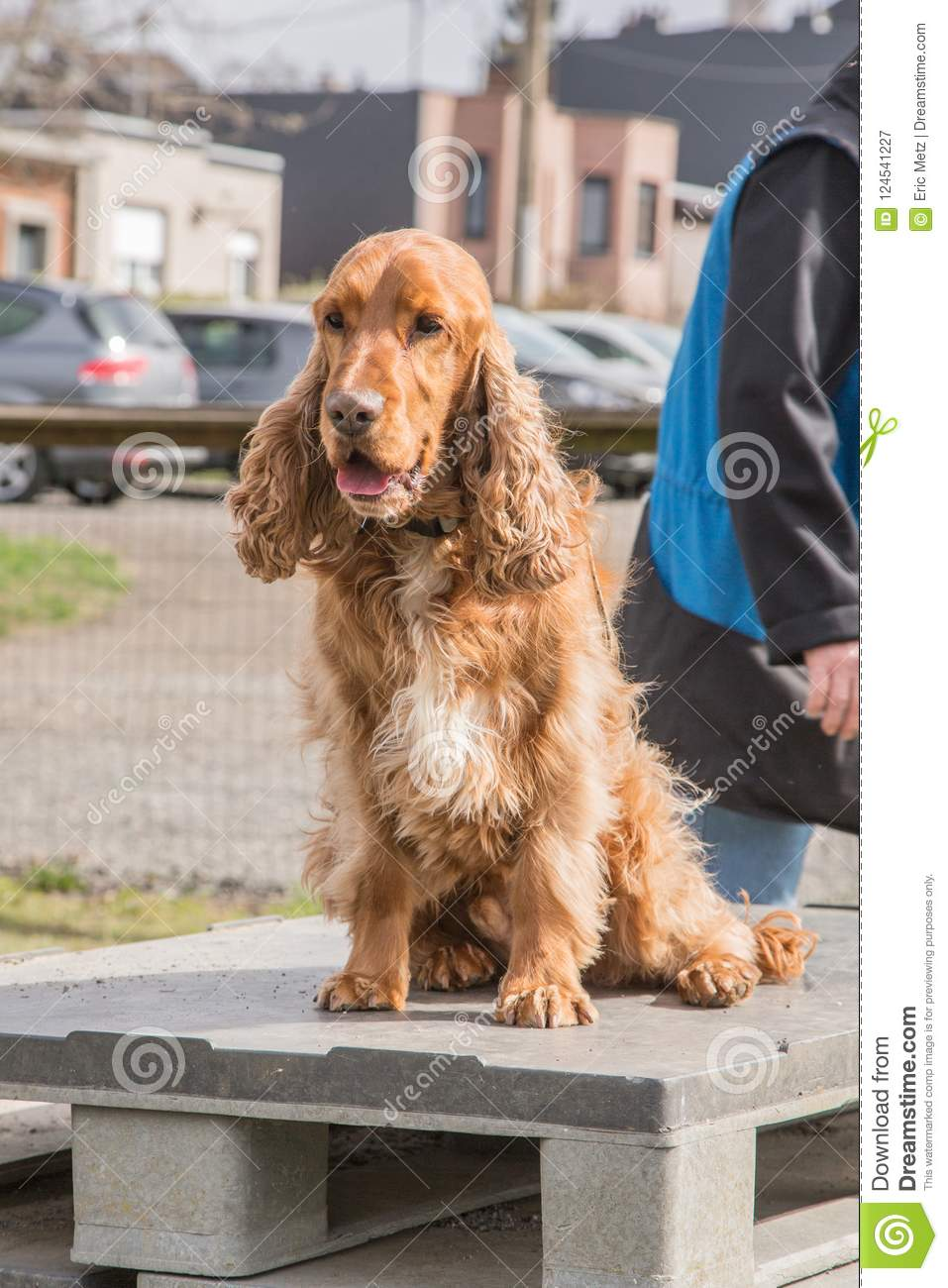Simply excellent adult english cocker spaniel remarkable