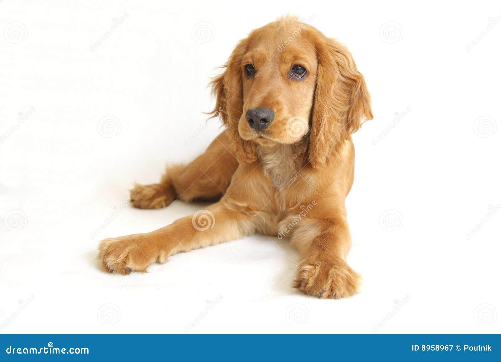 English Cocker Spaniel Baby Dog Stock Image Image 8958967