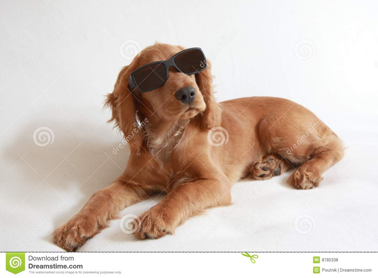 English Cocker Spaniel Baby Dog And Sunglasses Royalty