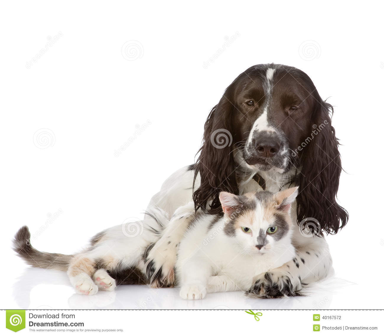 English Cocker Spaniel dog and kitten together