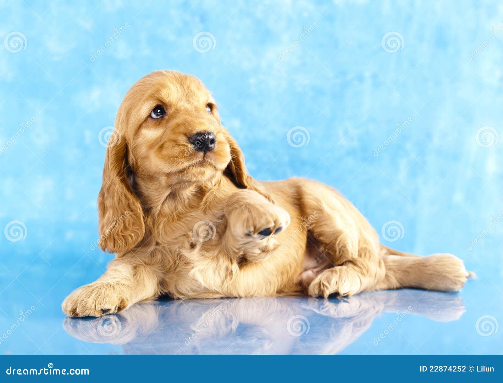 English Cocker Spaniel Puppy Stock Photo Image Of Friend Buff 22874252