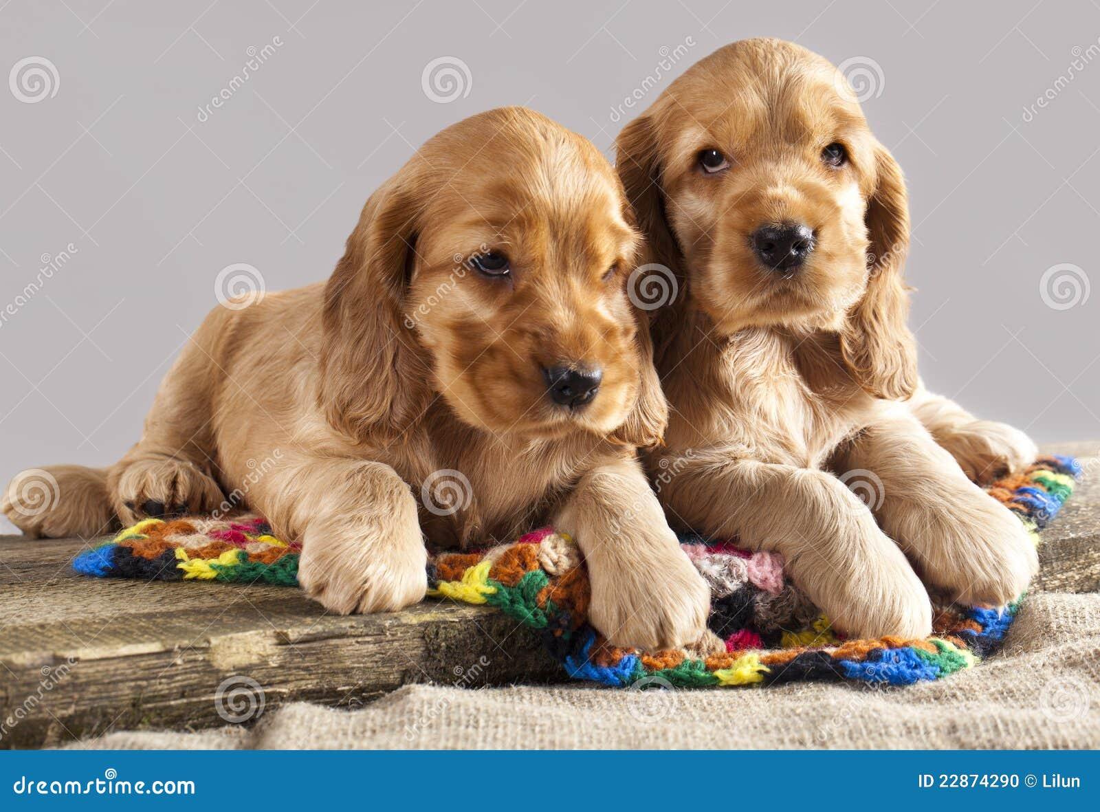 English Cocker Spaniel Puppy Stock Photo Image 22874290