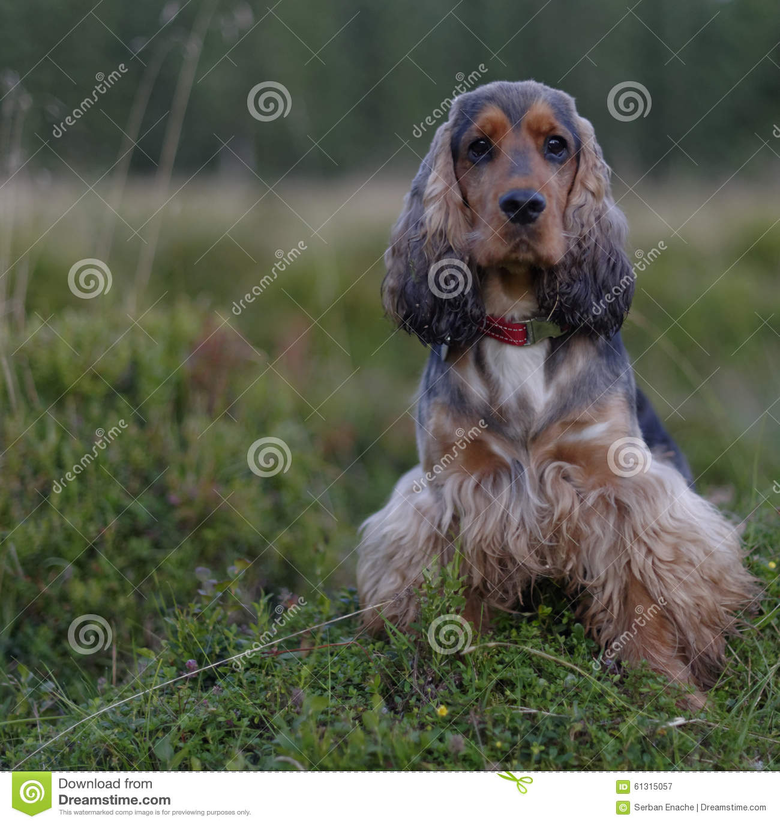 English Cocker Spaniel Stock Image Image Of Outside 61315057