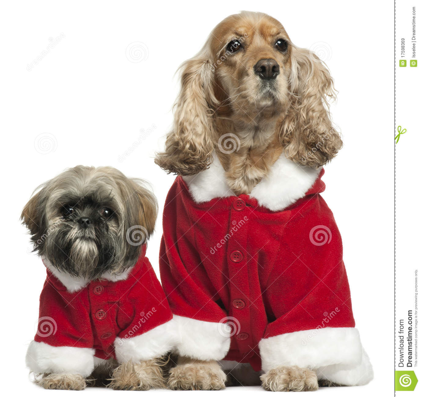 cocker spaniel and shih tzu english cocker spaniel and shih tzu in santa stock image 2350