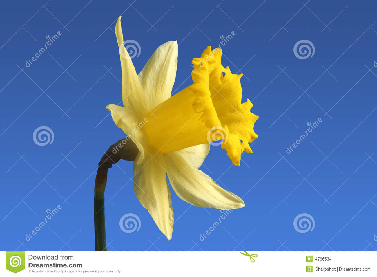 Fiori In Inglese.English Daffodil Flower Stock Photo Image Of Color Bloom 4766534