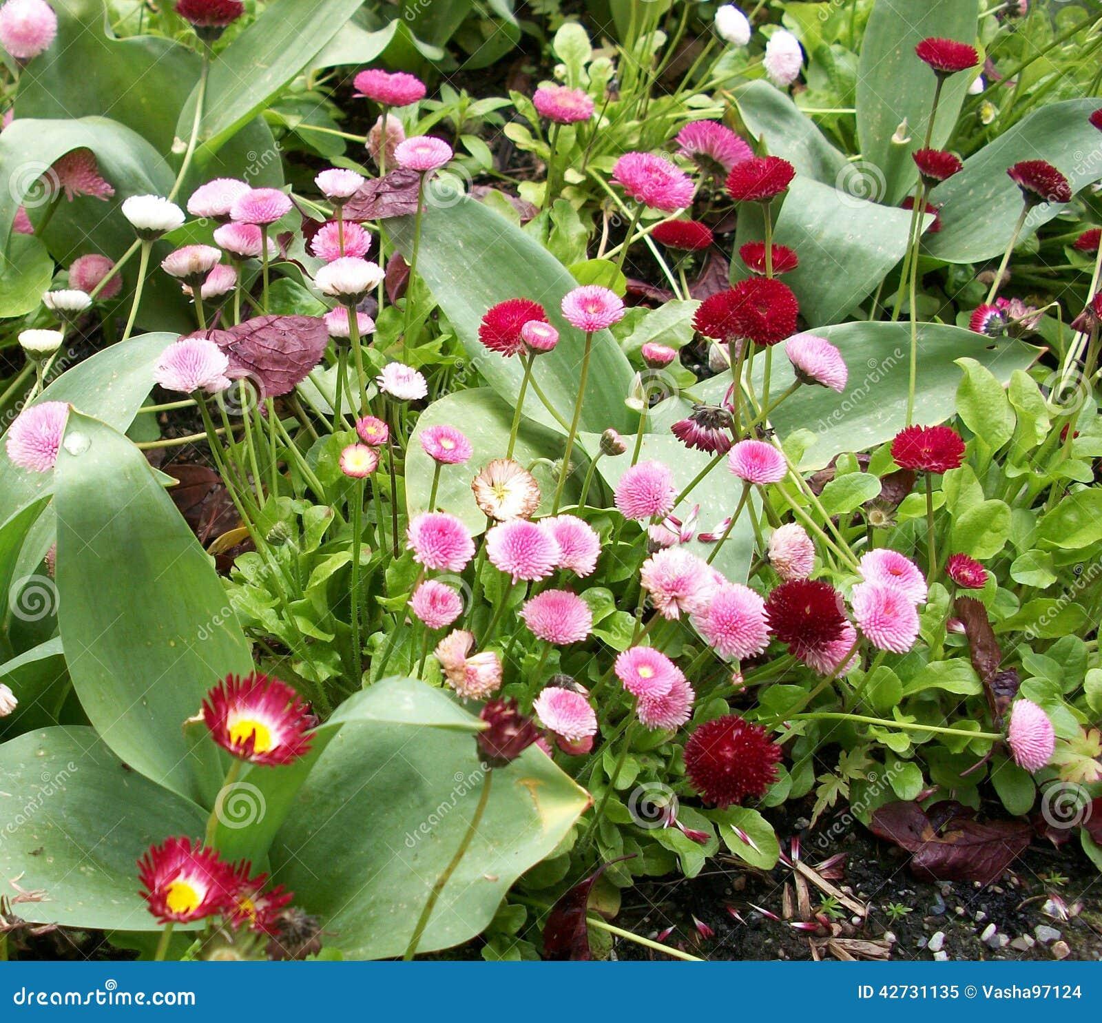 English daisies stock image image of daisies flowers 42731135 download english daisies stock image image of daisies flowers 42731135 izmirmasajfo
