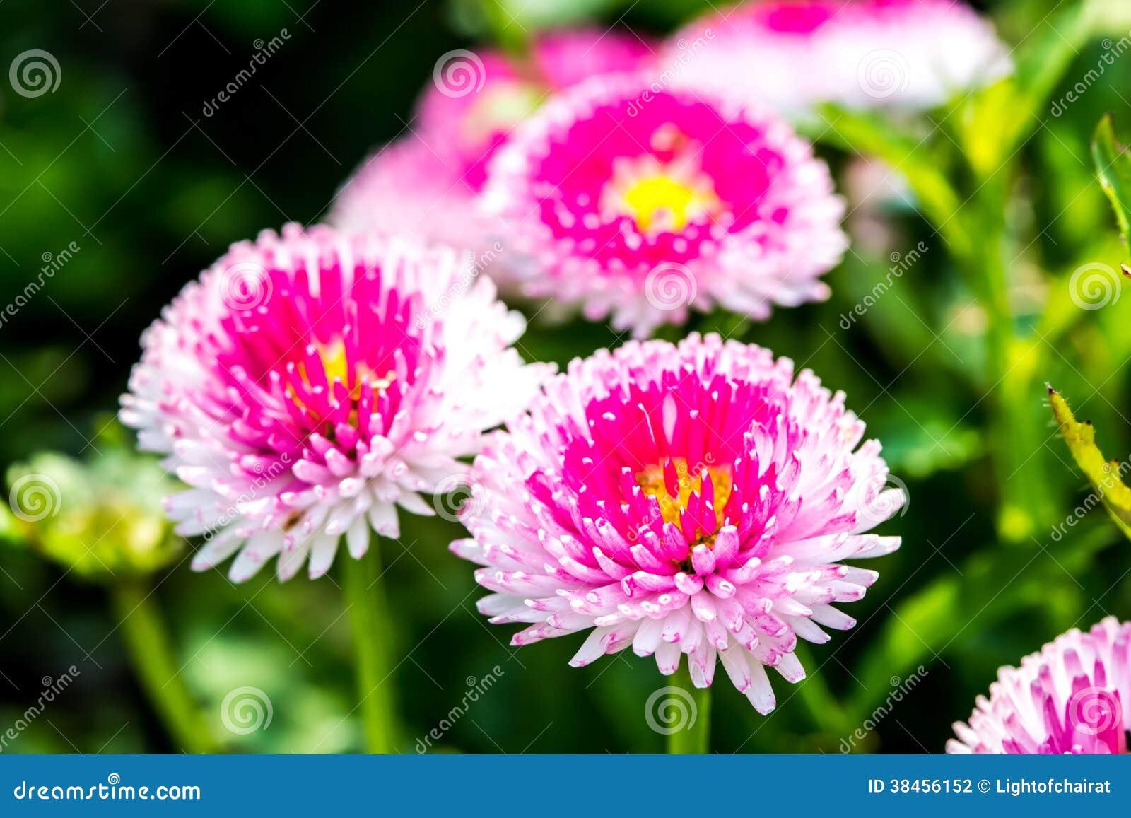 English daisy flower in chiangmai thailand stock photo image of download english daisy flower in chiangmai thailand stock photo image of fresh color izmirmasajfo