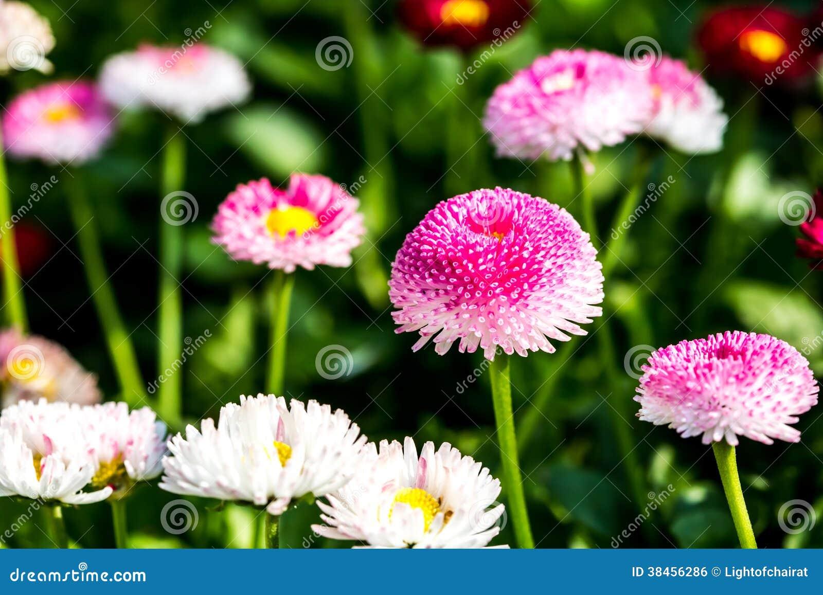 English daisy flowers in chiangmai thailand stock photo image of download english daisy flowers in chiangmai thailand stock photo image of bright chiangmai izmirmasajfo